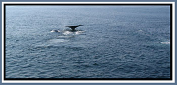Whales at Stellwagen Bank National Marine Sanctuary © Page Makers, LLC