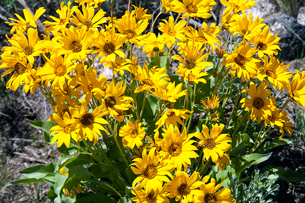 Balsamroot at Saint Anthony Sand Dunes ~ © Copyright All Rights Reserved John William Uhler