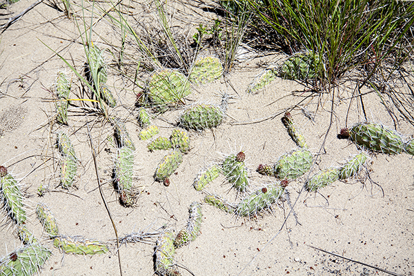 Prickly Pear Cactus at Saint Anthony Sand Dunes ~ © Copyright All Rights Reserved John William Uhler